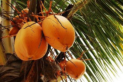 Palmy - kokos (nahrál: emiliana)