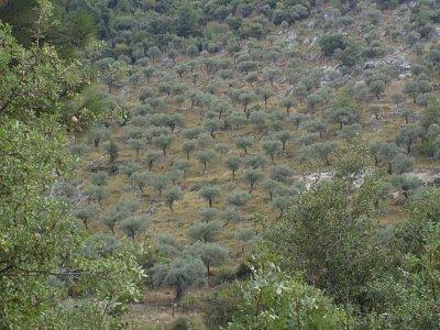 Olivovníky (nahrál: KačaDOD)