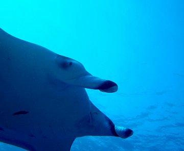 Maledivy 2011- manty a žraloci